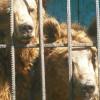 AGERPRES / Doi urși din Armenia vor ajunge la Rezervația de la Zărnești, la sfârșitul lunii